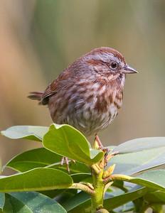 Song Sparrow, my backyard