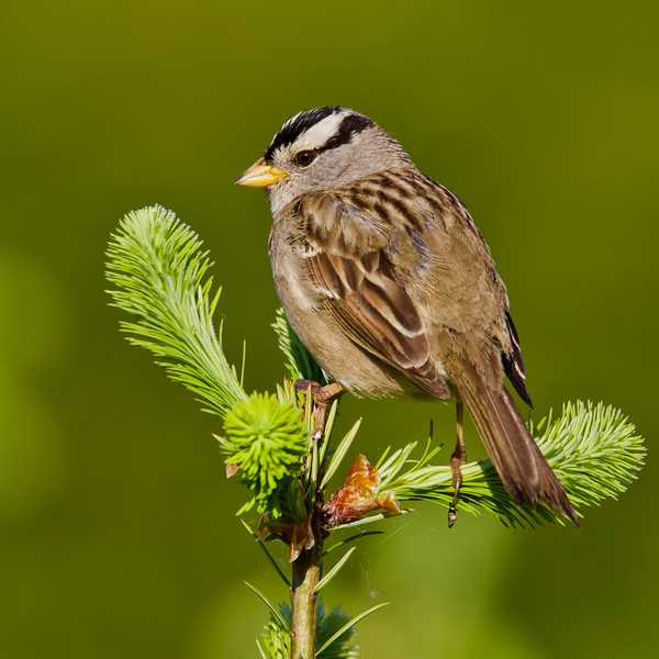 Sparrow-White-crowned Sparrow