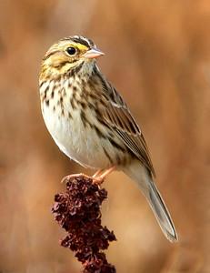 Savannah Sparrow, Tualatin River National Wildlife Refuge