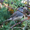 dark-eyed junco: Junco hyemalis