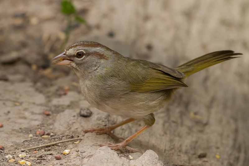 Olive Sparrow, Sabal Palm Sanctuary, Texas