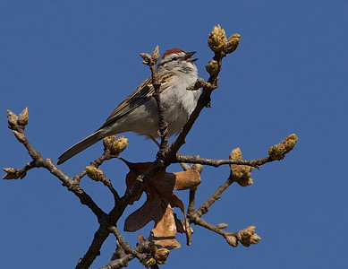 Chipping Sparrow, cheeping.