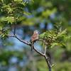 Killbear Provincial Park, song sparrow: Melospiza melodia