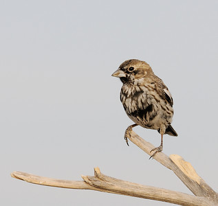 Lark Bunting Male Molting from winter plumage into breeding plumage