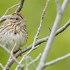 Lincoln's Sparrow, Potter Marsh Bird Sanctuary, Anchorage, Alaska