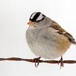 White-Crowned Sparrow - At Richard W. DeKorte Park, Meadowlands, NJ