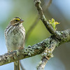 Savannah Sparrow, Great Smoky Mountains National Park, Tennessee