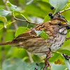 White-throated Sparrow, Presqu'ile Provincial Park, Ontario