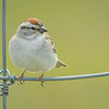 Chipping Sparrow, Prince Edward Point National Wildlife Area, Ontario