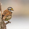 White-throated Sparrow, Skerwink Trail, Port Rexton, Newfoundland