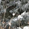 Fletcher Gardens, house sparrow: Passer domesticus