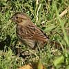 Petrie Island, song sparrow: Melospiza melodia