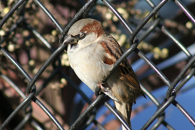 Sleeping House Sparrow