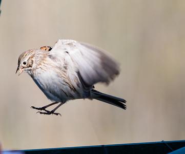 Vesper Sparrow landing