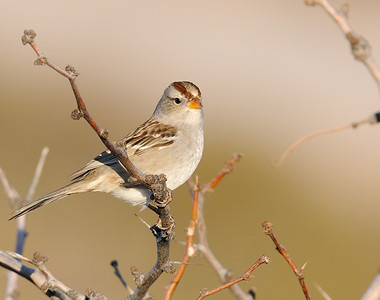 White-crowned Sparrow (1st winter bird)