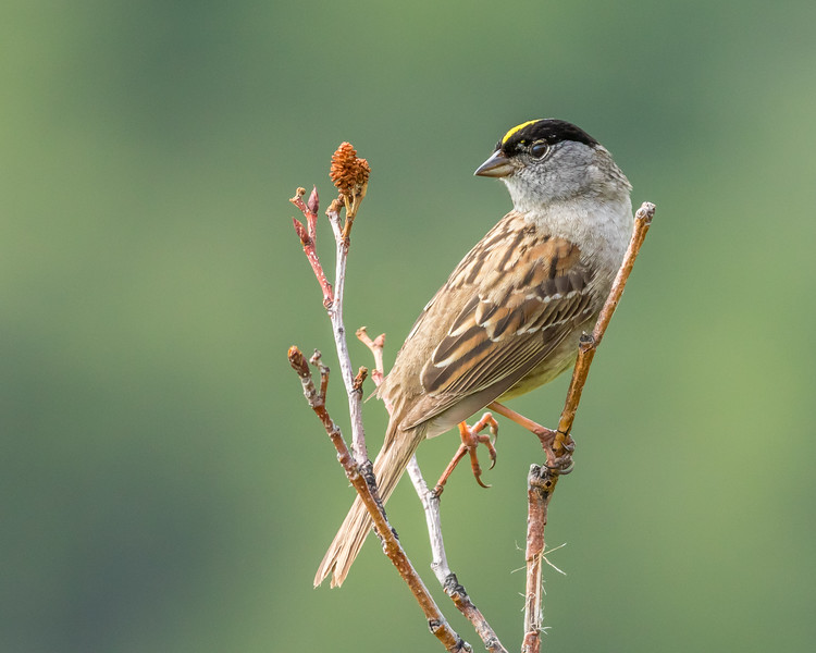 Golden-crowned Sparrow, Chugach State Park, Alaska