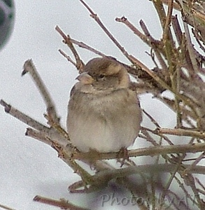 House Sparrow <br /> Bridgeton, MO <br /> 2004-01-31<br /> <br /> No. 17 on my Lifetime List of Bird Species <br /> Photographed in Missouri