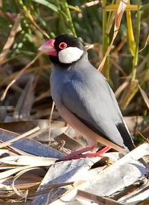 Java Sparrow, Maui