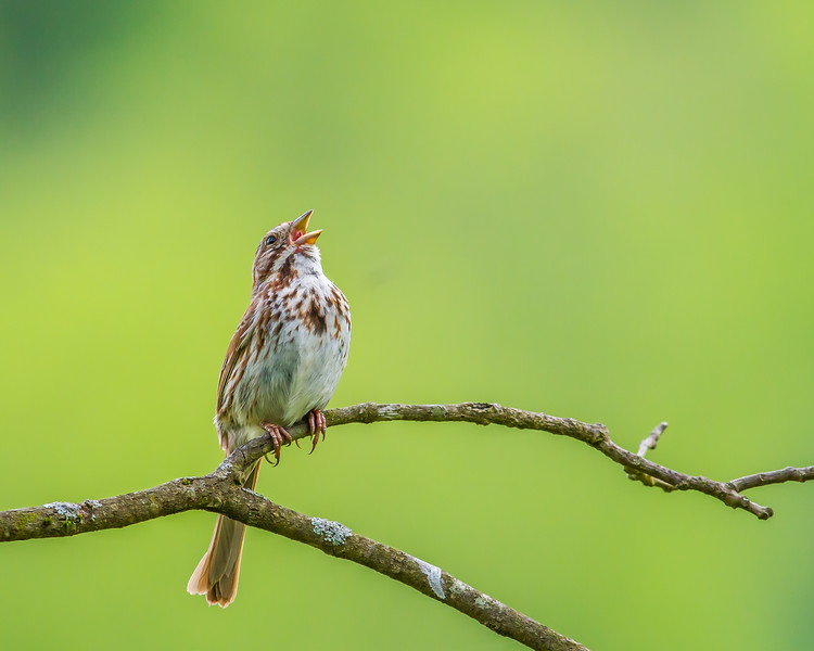Song Sparrow, Great Smoky Mountains National Park, Tennessee