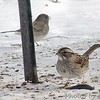 White-throated Sparrow <br /> Bridgeton, MO  <br /> 2004-02-01<br /> <br /> No. 5 on my Lifetime List of Birds <br /> Photographed in Missouri