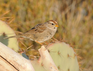 White-crowned Sparrow (Ist winter bird)