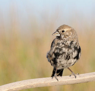 Lark bunting (Molting into breeding plumage)