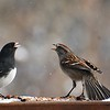 Dark-eyed Junco (Junco hyemalis) and American Tree Sparrow