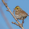 Savannah Sparrow, Newburgh, Ontario