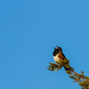 Eastern Towhee, Prince Edward Point National Wildlife Area, Ontario
