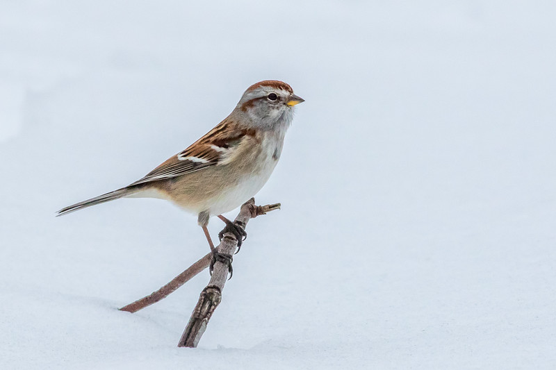 American Tree Sparrow, Lynde Shores Conservation Area, Ontario
