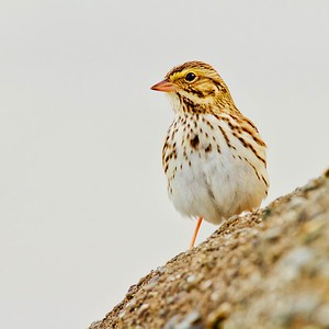 Savannah Sparrow