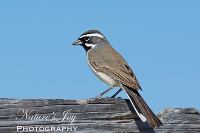 Black-throated Sparrow