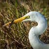 Eastern Great Egret