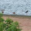 Grey Teal, Pink Eared Ducks & Pied Stilts