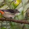 Mistletoebird (female)