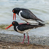 Pied Oystercatchers
