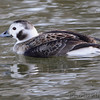 Long-tailed Duck <br /> Creve Couer Lake