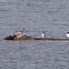 Little Gull (left)<br /> Ellis Bay - Missouri <br /> Riverlands Migratory Bird Sanctuary