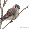 American Kestrel  <br /> Confluence Point State Park