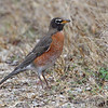American Robin <br /> Blue Grosbeak Trail <br /> Weldon Spring Conservation Area
