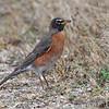 American Robin <br /> Blue Grosbeak Trail <br /> Weldon Spring Conservation Area
