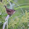 Marsh Wren <br /> Heron Pond <br /> Riverlands Migratory Bird Sanctuary