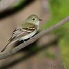 Acadian Flycatcher <br /> Tower grove park