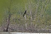 "Anhinga  <span class=""spacer_LB_caption""> • </span> <br> Creve Coeur Marsh <span class=""spacer_LB_caption""> • </span> <br> Photo from HWY 364 shoulder at ~0.4 miles away <span class=""spacer_LB_caption""> • </span> <br> City of Maryland Heights <span class=""spacer_LB_caption""> • </span> <br> St. Louis County, Missouri <span class=""spacer_LB_caption""> • </span> <br> 5/10/20"