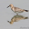 Baird's Sandpiper <br /> Pool just outside entrance of <br /> Confluence Point State Park