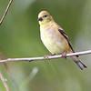 American Goldfinch <br /> Riverlands Migratory Bird Sanctuary