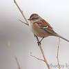 American Tree Sparrow <br /> Riverlands Migratory Bird Sanctuary