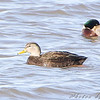 American Black Duck (male) and Mallard <br /> Riverlands Migratory Bird Sanctuary