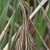 American Bittern <br /> Columbia Bottom Conservation Area