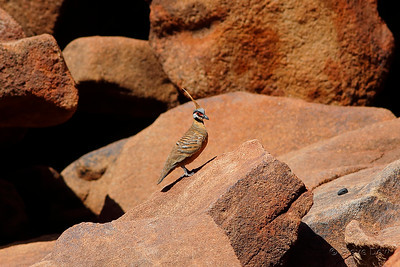 Pilbara Spinifex Pigeon